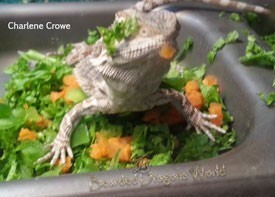 bearded dragon eating vegetables