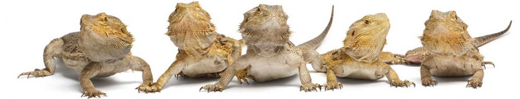 bearded dragons world
