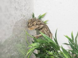 Bearded dragon drinking drops of water misted onto the wall of its house