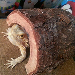 Charlene Crowe's bearded dragon in his log burrow