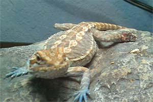 Bearded dragon companion attacked biting foot