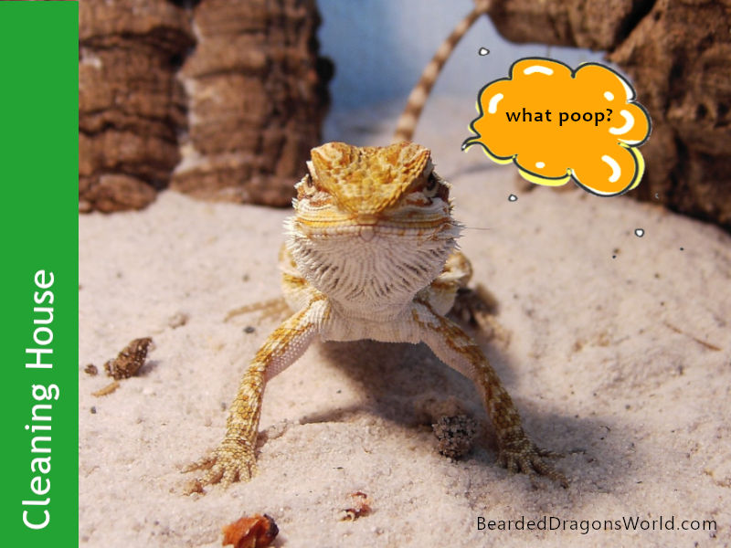 Best Ways to Get a Super Clean Bearded Dragons House
