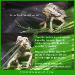 feeding big insects to bearded dragons