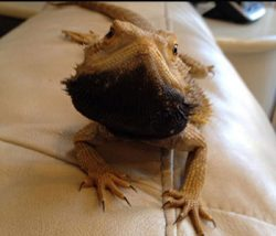 Justin Peter's bearded dragon Toredo with a black beard
