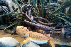 Setting up Your Bearded Dragon Habitat