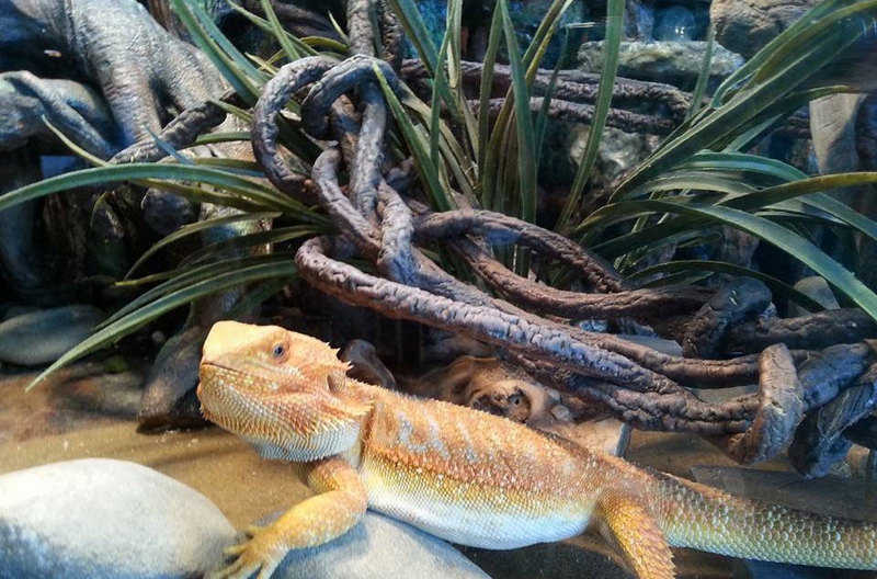 Bearded Dragon Indoors and Outdoor Housing