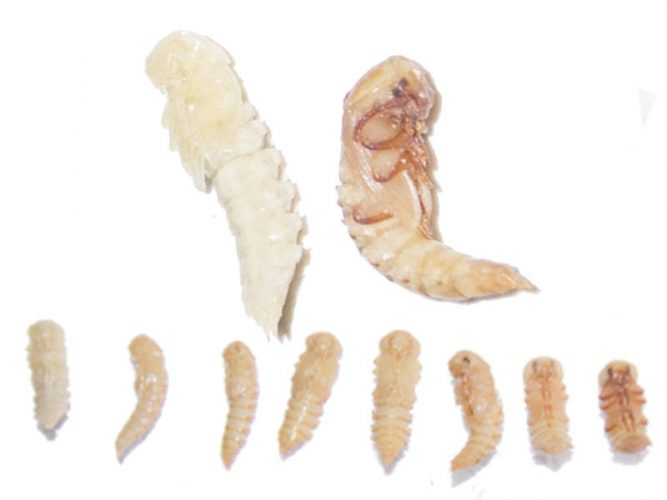 Tenebrio molitor mealworm pupae can also be used as food for bearded dragons