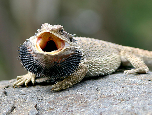 bearded dragon protecting himself