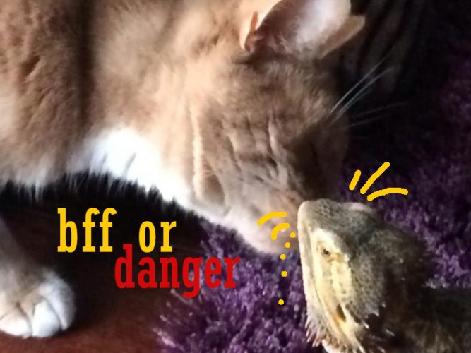 can a bearded dragon and cat get along