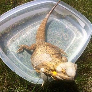 bathing bearded dragon in sun aid shedding