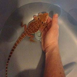 Bathing bearded dragons supported by hand