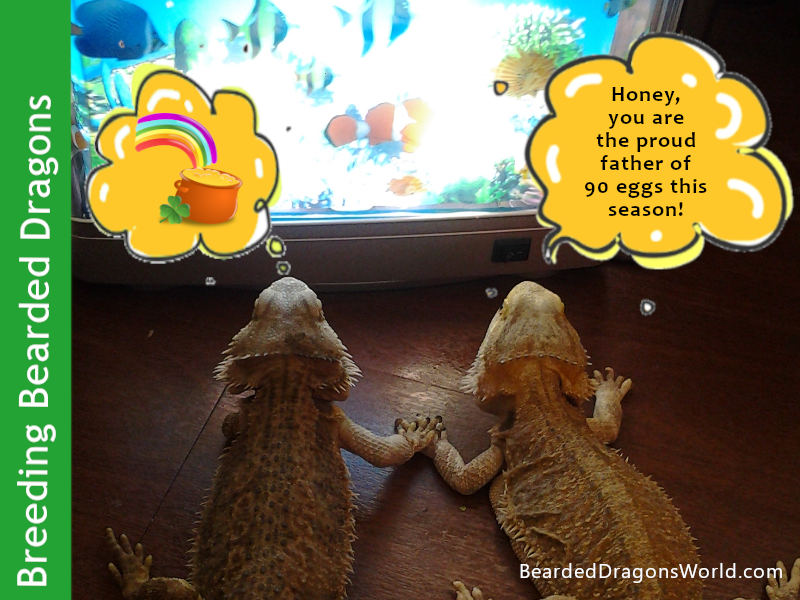 Bearded Dragon Breeding: Mating, Eggs and Hatching