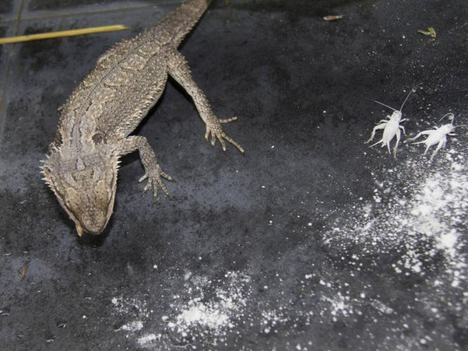 bearded dragon catching insects