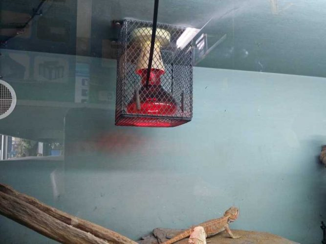bearded dragon does not need red light