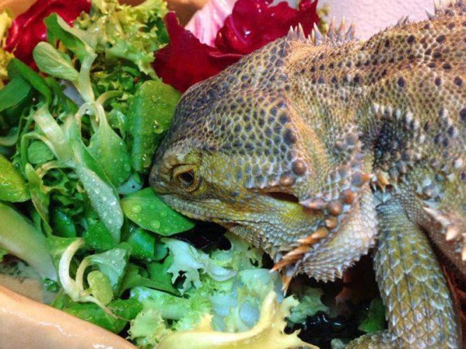 Bearded dragon eating a veggie mix