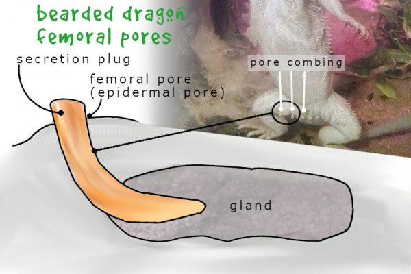 bearded dragon femoral pores