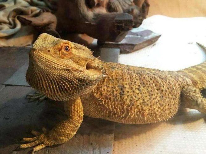 bearded dragon fat, overweight