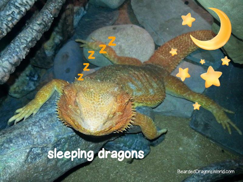 How Do Bearded Dragon Sleep & 5 Surprising Sleeping Habits