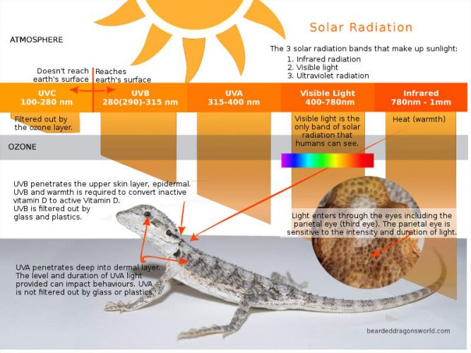 Solar radiation bands for bearded dragons UVB UVA and visible light