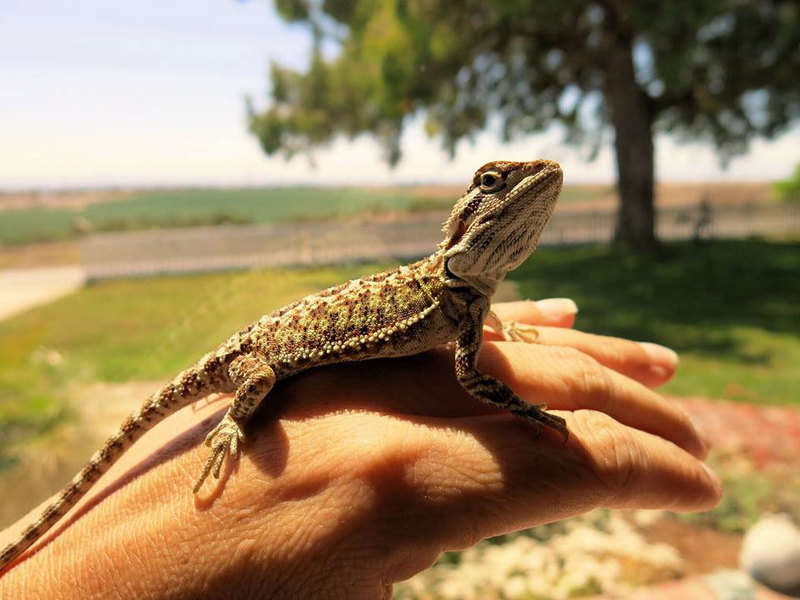 Pet Bearded Dragons [costs & 5 Things You Need to Know]