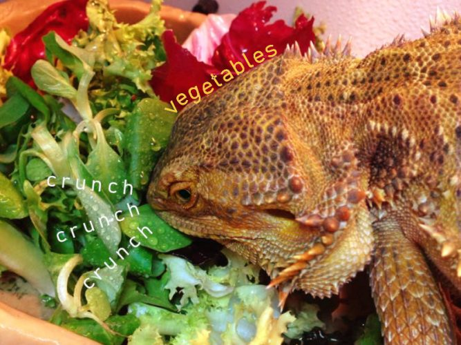 bearded dragons eat vegetables