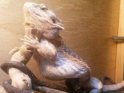 bearded dragon fat belly