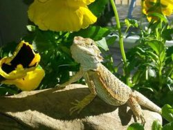 bearded dragons eat pansies