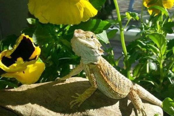 bearded dragons eat pansies