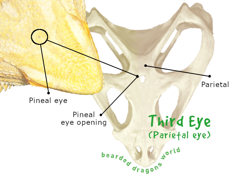 bearded dragons third eye also known as parietal eye