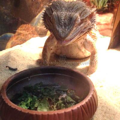 Feeding bearded dragons. Justin Peter's Otto