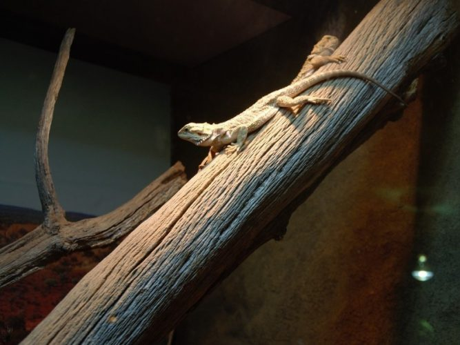 Branches as decor for your bearded dragon