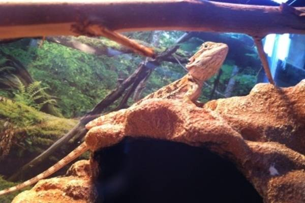 cage furnishings for bearded dragons