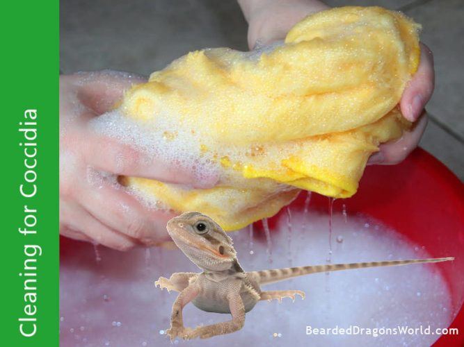 clean for coccidia in bearded dragons