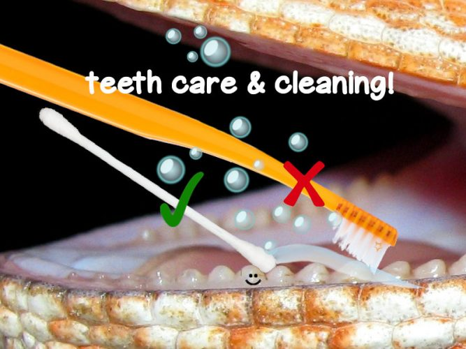 cleaning bearded dragon teeth
