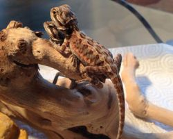 Baby bearded dragons competing for resources