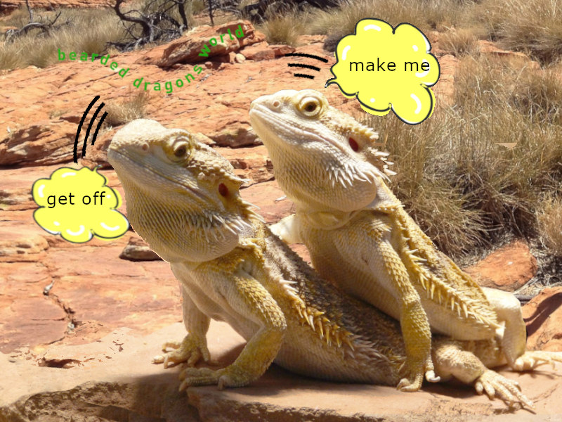 Bearded Dragons Live Together [loneliness, friends, methods]