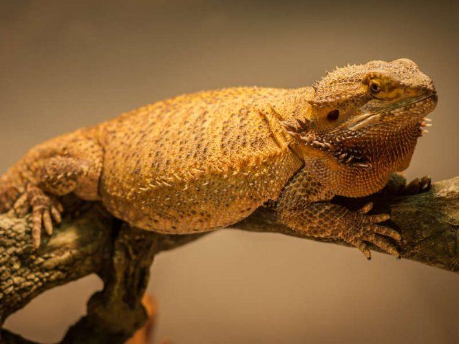 fat bearded dragon basking