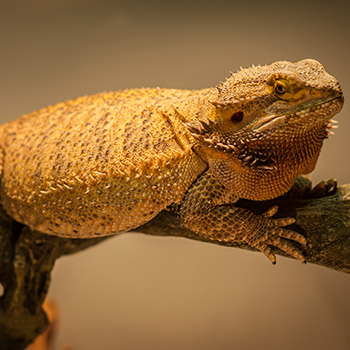 Obese Bearded Dragon Pictures To Pin On Pinterest Pinsdaddy