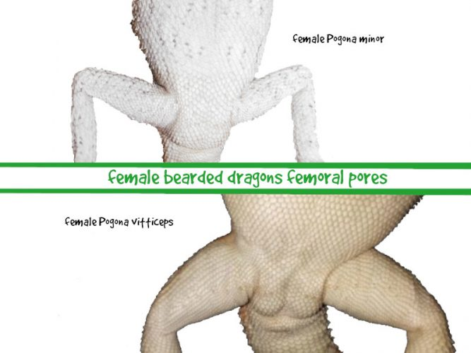 female bearded dragon femoral pores