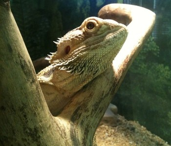 Helping your bearded dragon shed naturally with accessories