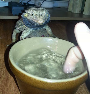 How to encourage your bearded dragon to drink