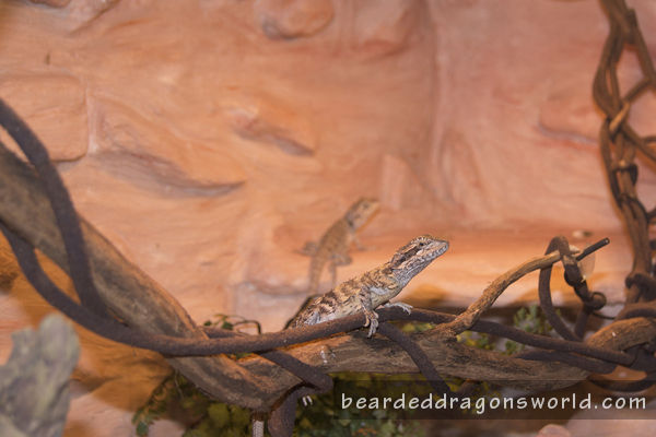 How to set up bearded dragon tank