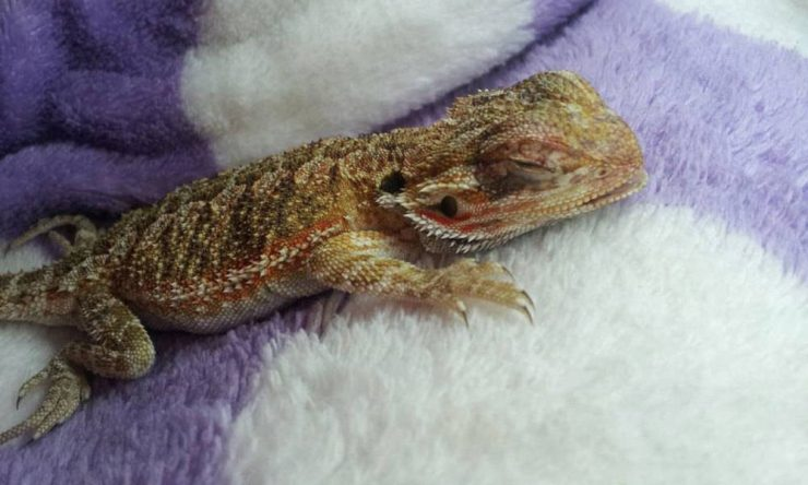 juvenile bearded dragon attacked