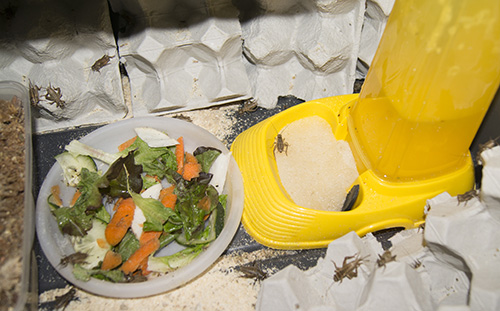 keeping crickets as insect feeders