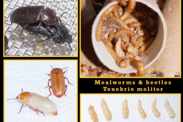 Breeding and keeping mealworms
