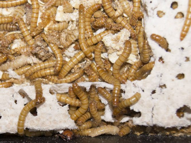 mealworms being bred for bearded dragons eating polystyrene