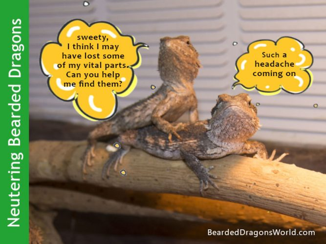neuter spay bearded dragon
