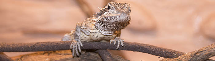 Pogona minor minor