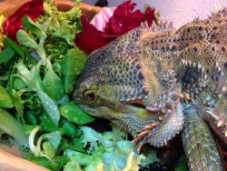 romaine lettuce veggies for bearded dragon