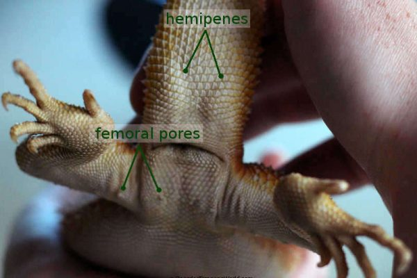 determining the sex of bearded dragon male